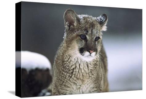 Mountain Lion cub in snow, Montana-Tim Fitzharris-Stretched Canvas Print