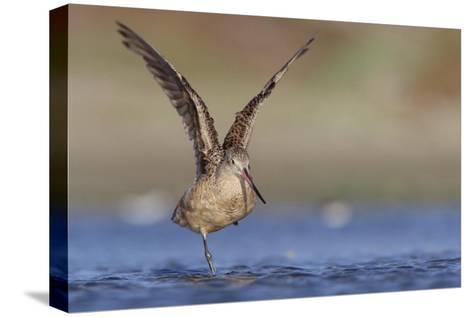 Marbled Godwit stretching its wings, North America-Tim Fitzharris-Stretched Canvas Print