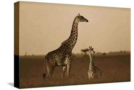 Giraffe adult and foal on savanna, Kenya - Sepia-Tim Fitzharris-Stretched Canvas Print