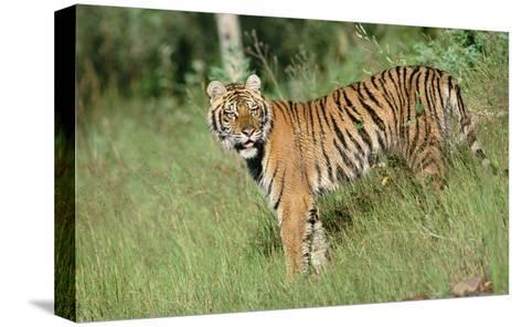 Siberian Tiger standing in green grass-Tim Fitzharris-Stretched Canvas Print