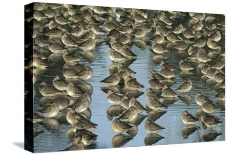 Long-billed Dowitcher flock sleeping in shallow water, North America-Tim Fitzharris-Stretched Canvas Print