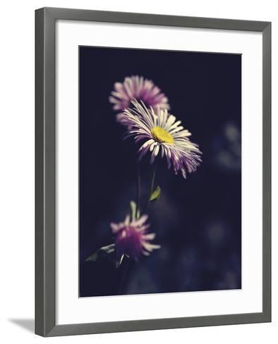 Asters-Andreas Stridsberg-Framed Art Print