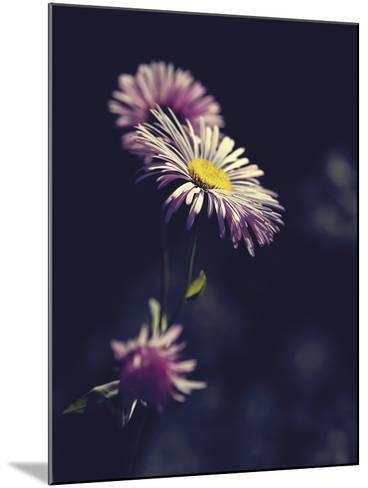Asters-Andreas Stridsberg-Mounted Giclee Print