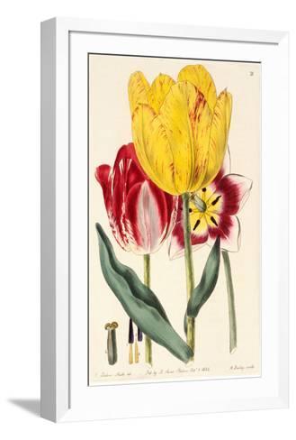 Pubescent-Stalked Tulip (1823 - 1829)-E^ Dalton Smith & Robert Sweet-Framed Art Print