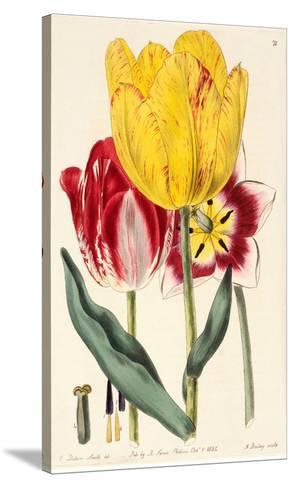Pubescent-Stalked Tulip (1823 - 1829)-E^ Dalton Smith & Robert Sweet-Stretched Canvas Print