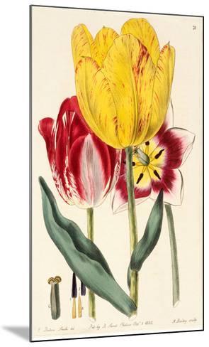 Pubescent-Stalked Tulip (1823 - 1829)-E^ Dalton Smith & Robert Sweet-Mounted Art Print