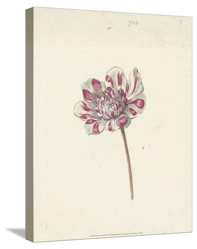 Red and White Flower, c. 1600-1699-Anna Cornelia Moda-Stretched Canvas Print