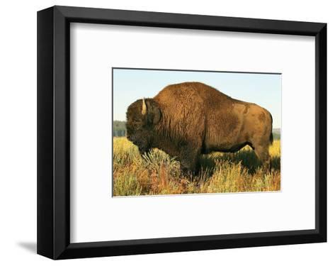 The Noble Bison--Framed Art Print