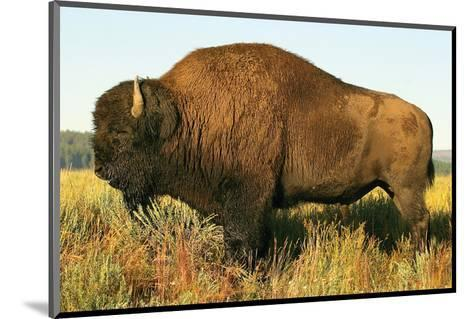 The Noble Bison--Mounted Art Print