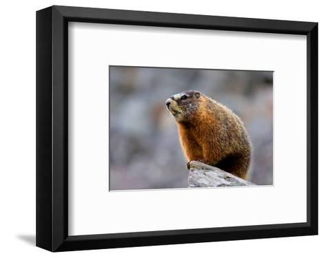 Yellow Bellied Marmot--Framed Art Print