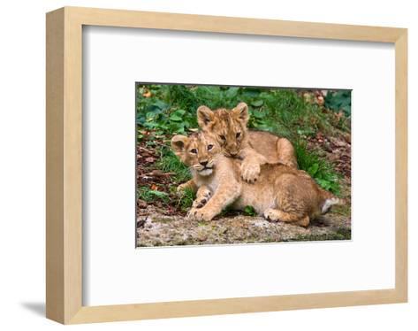 Couple of Lion Cubs--Framed Art Print