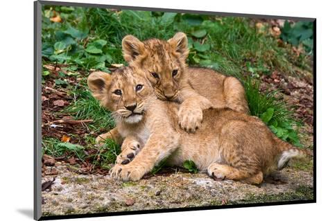 Couple of Lion Cubs--Mounted Art Print