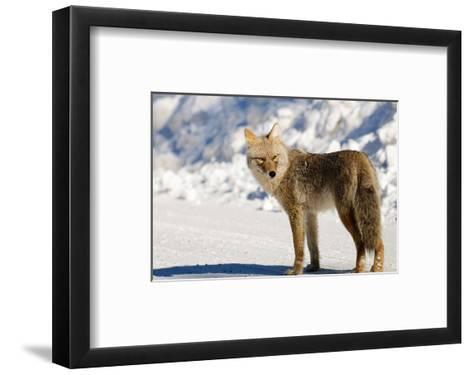 Coyote Spray Lakes Alberta--Framed Art Print