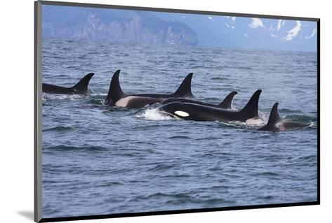 Killer Whale Group in the Wild--Mounted Art Print