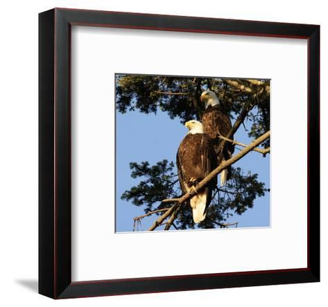 A Pair of perching Bald Eagles--Framed Art Print