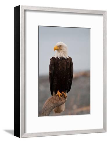 Bald Eagle Resting On A Perch--Framed Art Print