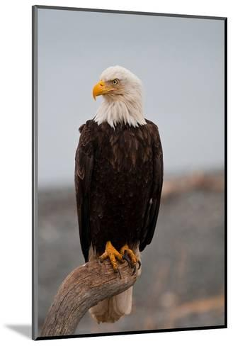 Bald Eagle Resting On A Perch--Mounted Art Print