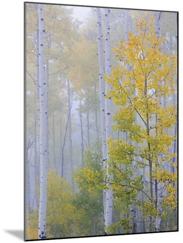 Foggy Morning in Aspen Forest II-Don Paulson-Mounted Giclee Print