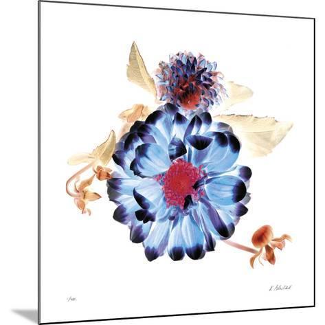Translucent Dahlia-Kate Blacklock-Mounted Giclee Print