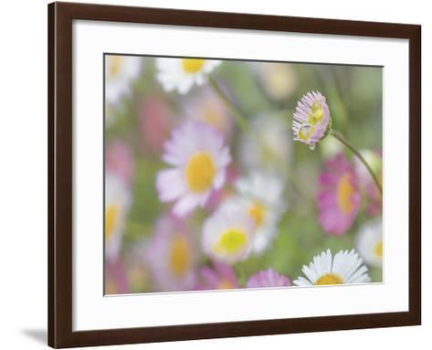 Santa Barbara Daisies II-Don Paulson-Framed Art Print