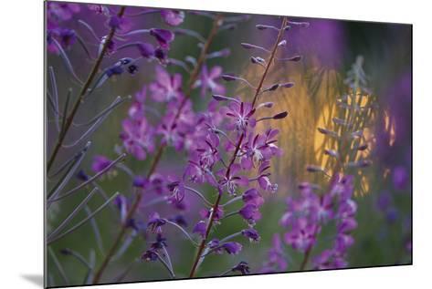 Purple Breeze-Peter Lilja-Mounted Giclee Print