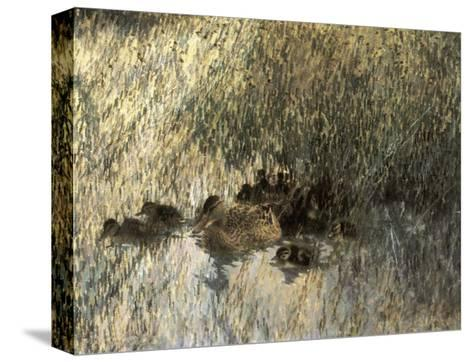 Duck Family, 1903-Bruno Liljefors-Stretched Canvas Print