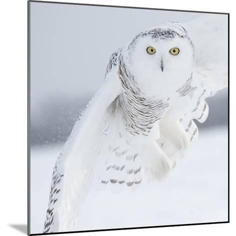 Owl in Flight I-PHBurchett-Mounted Art Print