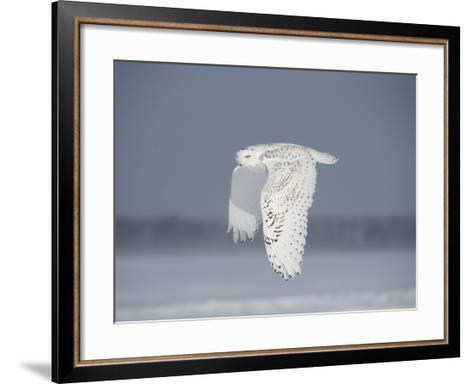 Owl in Flight IV-PHBurchett-Framed Art Print