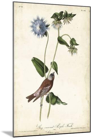 Grey-crowned Purple Finch-John James Audubon-Mounted Giclee Print