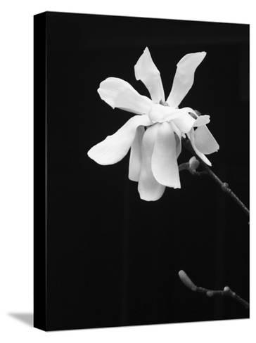 Floral Portrait VII-Jeff Pica-Stretched Canvas Print
