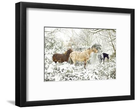 3 Horses & Snow Covered Trees--Framed Art Print