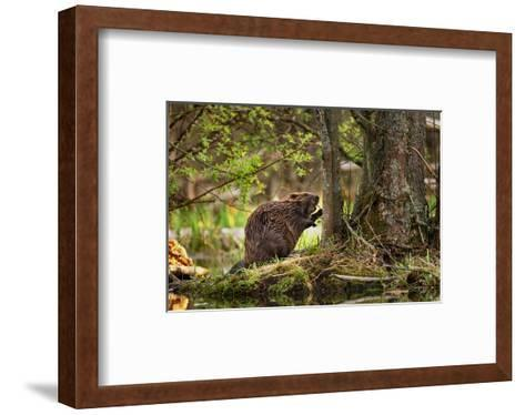 Beaver Closeup in the Forest--Framed Art Print