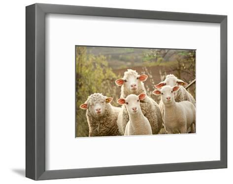 Curious Flock of Sheep--Framed Art Print