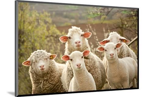 Curious Flock of Sheep--Mounted Art Print