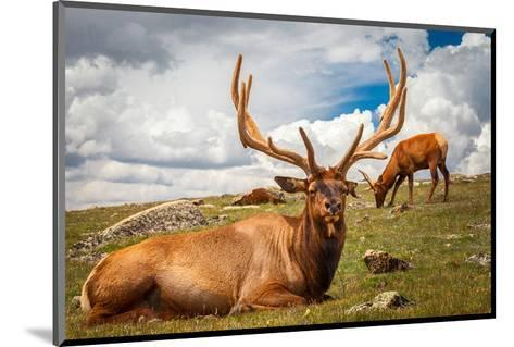 Elk Stag and Cow on a Meadow--Mounted Art Print