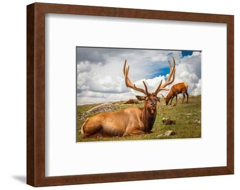 Elk Stag and Cow on a Meadow--Framed Art Print