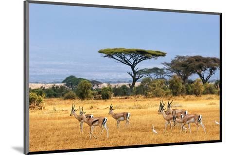 Gazelles Amboseli Kenya Africa--Mounted Art Print