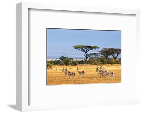 Gazelles Amboseli Kenya Africa--Framed Art Print