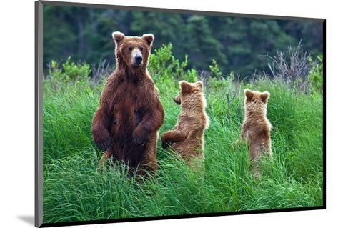 Grizly Bears at Katmai Alaska--Mounted Art Print