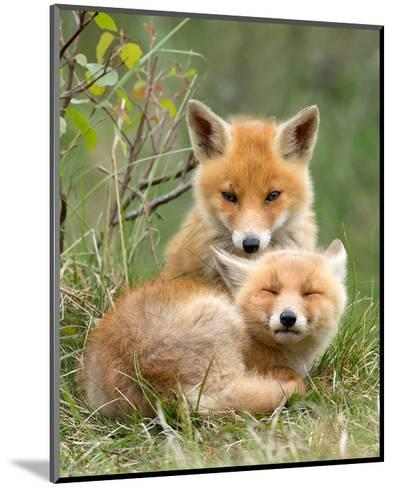 Pair of Cuddling Red Fox Cubs--Mounted Art Print