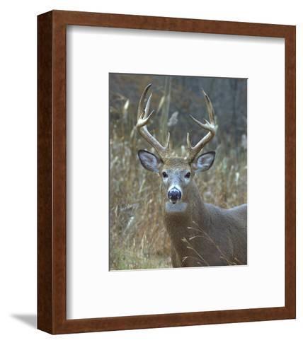 Whitetail Deer Buck Closeup--Framed Art Print