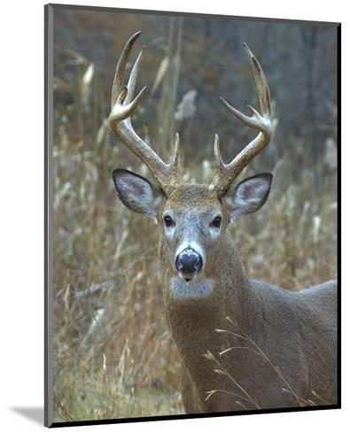 Whitetail Deer Buck Closeup--Mounted Art Print