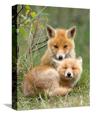 Pair of Cuddling Red Fox Cubs--Stretched Canvas Print