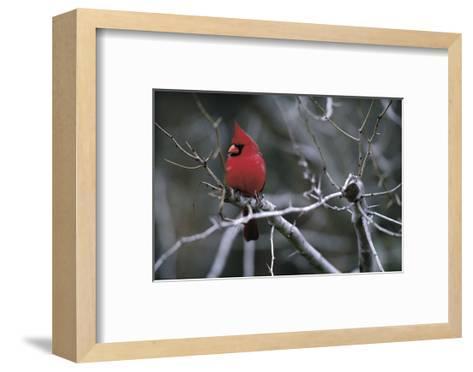 Cardinal-Art Wolfe-Framed Art Print