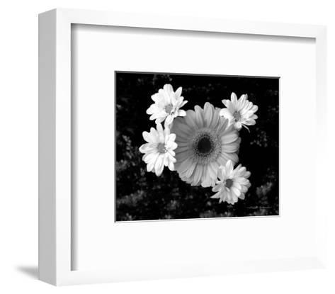Gerber Daisies-Harold Silverman-Framed Art Print