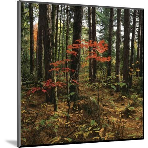 Maple in the Pine-Phillip Mueller-Mounted Art Print
