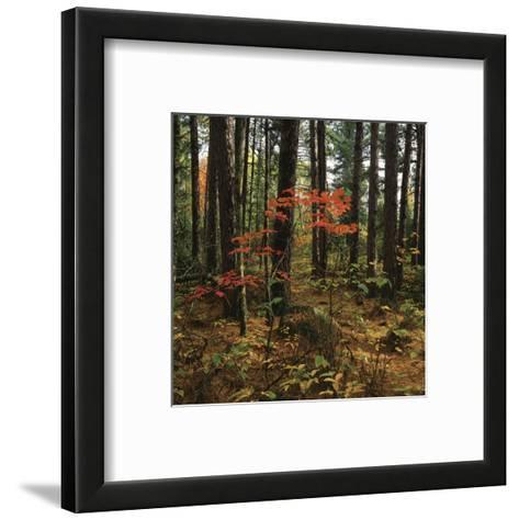 Maple in the Pine-Phillip Mueller-Framed Art Print