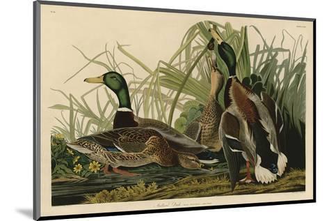 Mallard Duck-John James Audubon-Mounted Art Print