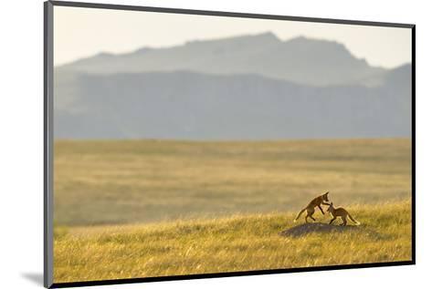 Montana Fox Kits-Jason Savage-Mounted Art Print
