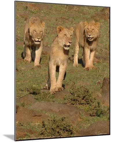 Lionesses on the Hunt Full Bleed-Martin Fowkes-Mounted Giclee Print